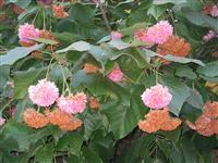 Image of Dombeya wallichii