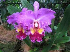 Big Cattleya Orchid