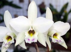 Sunset Valley Orchids - L. anceps 'White Marble'