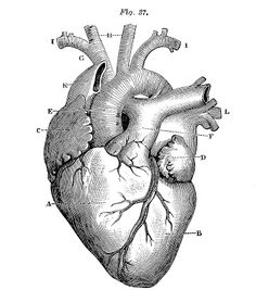 Royalty Free Images - Anatomical Heart - Vintage - The Graphics Fairy