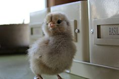 How to take care of baby chicks: Tips and tricks for your new flock! I felt as nervous as a new mom when I brought my first flock of chicks home with me. Organic Chicken Feed, Baby Chicks, Our Baby, Idaho, New Moms, New Baby Products, Roots, Babies, Gardening