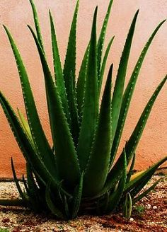 Beautiful Aloe Vera.  I've got a giant plant in my yard.  We keep leaves in the freezer and thaw as needed for the juice and pulp. Great for minor burns.