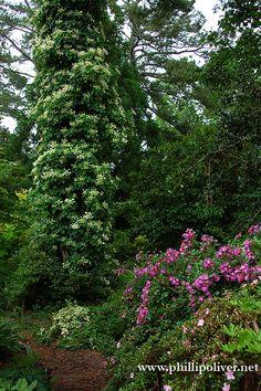Climbing Hydrangea trained up a tree.  Garden of Pam Harper.  Photo by Phillip Oliver.  Hoppas vår klätterhortensia som är planterad vid tallen ser ut så här så småningom! :)