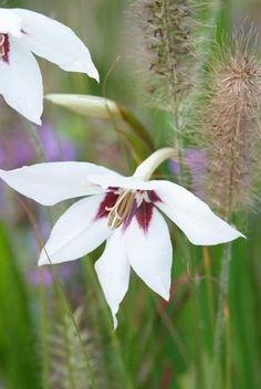 Gladiolus Murielae, Abyssinian Gladiolus, Peacock Flower, Acidanthera, Fragrant Gladiolus, Sword Lily, Peacock Orchid