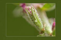 Eitje boomblauwtje gefotografeerd door Regina. Eitjes worden afgezet op bloemknoppen of vruchten. Per generatie verschilt de waardplant, in het voorjaar os hulst in de zomer op kattenstaart, klimop en heide. Jonge rupsen maken een klein gaatje in bloemknop of vrucht en voeden zich met de inhoud.