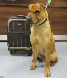 Lonely: Kai theShar-Pei crossbreed was found at Ayr  station with  his toy, food and bowl...