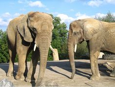 ACTION ALERT - Toronto Zoo Elephants Need Your Help! The Association of Zoos and Aquariums are using bully tactics to try to keep Iringa, Toka and Thika from being sent to a large, natural-habitat sanctuary. Please help!