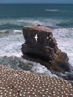 Muriwai gannet colony - taken on my iPhone. (©Tracey van Lent)