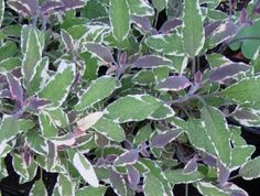Tricolor Sage Plant- Attracts bees and butterflies to the garden. #live #plant