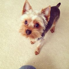 For groomer reference in the future... Cute Yorkie grooming haircut Yorkshire terrier hairstyle puppy cut Chewbacca puppy haircut style yorkie puppycut groomed hair love puppy cute funny yorkielove dog dogs style pamper fun shorthair hair do