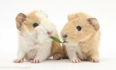 Guinea pig babies