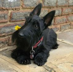 Scotty's are smart and great companions! They do need a lot of grooming, and are Terriers so as long as you know this they are one of my favorite breeds. Cute Puppies, Cute Dogs, Dogs And Puppies, Doggies, Fennec, Terrier Dogs, Bull Terriers, Baby Dogs, Little Dogs