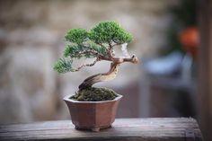 shohin bonsai - Buscar con Google Bonsai Wire, Bonsai Plants, Bonsai Garden, Garden Trees, Trees To Plant, Bonsai Trees, Mame Bonsai, Minis, Plant Images