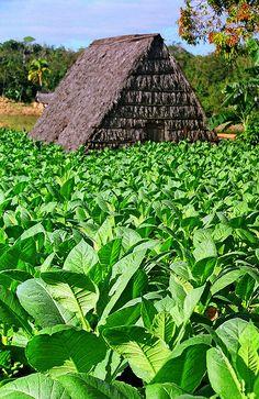 Tobaco field . Viñales, Cuba www.HotelTravelVacation.com  www.VacacionesReales.com