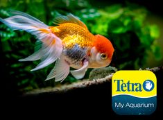 Originally from China, these fancy fish are quite sensitive to environment and with the delicate growth on head not for beginners. They enjoy attention from owners.  Freshwater Pond Top/Mid Feeder Skill Level: Great beginner fish Daily Diet: Tetra® Goldfish Flakes or Tetra® Pond Sticks Supplement: Tetra® Goldfish Color Granules or Tetra® Variety Blend Treats: Tetra® RiverShrimp   For more information on fish types and diets visit www.tetra-fish.com or download the free My Aquarium App. Tetra Fish, Aquarium Set, Aquarium Maintenance, All Fish, Cichlids, Colorful Fish, Freshwater Fish, Fresh Water, How Are You Feeling