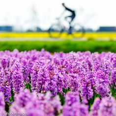 Cycling in Holland ...