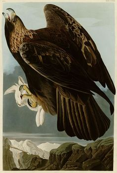 AU-37  Audubon - Golden Eagle - Plate 181.jpg