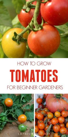 to grow tomatoes from seed to table including a handy chart showing the types of tomatoes and where to grow them. to grow tomatoes from seed to table including a handy chart showing the types of tomatoes and where to grow them. Growing Tomatoes Indoors, Growing Tomatoes From Seed, Types Of Tomatoes, Growing Tomato Plants, Growing Tomatoes In Containers, Growing Seeds, Growing Vegetables, Dried Tomatoes, How To Grow Tomatoes