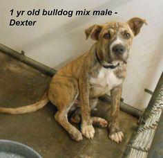 ***SUPER URGENT!!!*** - PLEASE SAVE DEXTER!! - EU DATE: 8/6/2014 -- dexter urgent  Breed: Terrier (mix breed) Age: Young adult Gender: Male  Size: Medium,  hasShots, -  Call Silvia and Debbie now,,,,,Silvia is 910-876-0539 and Debbie is 339-832-0806. If Silvia's mailbox is full you can Text her. Transportation is generally available up and down the East Coast from NC, VA, MD, NJ, PA, NY and the North East.