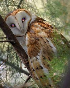 These eyes... #Animals #Owl #Eyes