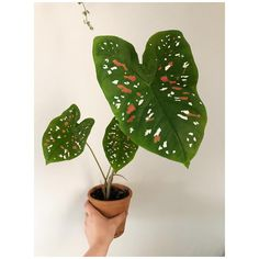 . P a s s i o n C a l a d i u m . . #caladium #caladiumbicolorpolkadot #plants #plantlife #plantlove #plantlover #plantparenthood…
