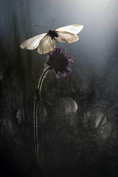 owls-n-elderberries: Baum-Weißling (Aporia crataegi) by Michael Sauer Midnight Garden, Witch Aesthetic, Midsummer Nights Dream, Moon Garden, Tier Fotos, Dark Photography, Illuminati, Faeries, Tulips