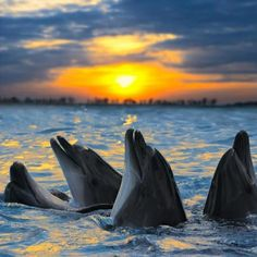 Beautiful dolphins at sunset