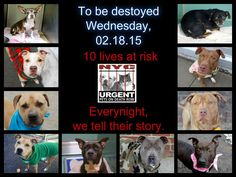 TO BE DESTROYED:10 beautiful dogs to be euthanized by NYC ACC- WED 02/18/15. This is a VERY HIGH KILL shelter group. YOU may be the only hope for these pups! ****PLEASE SHARE EVERYWHERE!To rescue a Death Row Dog, Please read this: http://urgentpetsondeathrow.org/must-read/ To view the full album, please click here: https://www.facebook.com/media/set/?set=a.611290788883804.1073741851.152876678058553&type=3