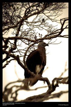 Grey-headed Fish Eagle, Yala National Park, Sri Lanka (www.secretlanka.com) Southern Province, Little Island, Beautiful Birds, Sri Lanka, Bald Eagle, Warriors, Butterflies, National Parks, Fish