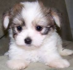 Image detail for -Tan Morkie - Pav Pack Acres Puppies