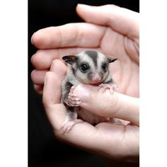 Instead of being a crazy cat lady, I'll probably have cages of random animals chilling everywhere. Like this little sugar glider! Sugar Glider Care, Crazy Cat Lady, Crazy Cats, Cute Baby Animals, Animals And Pets, Sugar Bears, Pocket Pet, Paws And Claws, Nature Photography