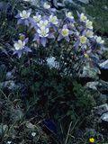 NPIN: Aquilegia coerulea (Colorado blue columbine)