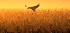 Cranes in Hula Valley Photo by Chen Ein-Dor -- National Geographic Your Shot