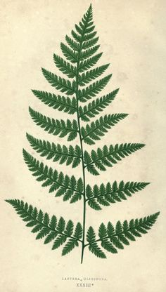 Our native ferns, or, A history of the British species and their varieties /. London native ferns, or, A history of the British species and their varieties /. Vintage Botanical Prints, Botanical Drawings, Botanical Art, Vintage Prints, Vintage Botanical Illustration, Botanical Gardens, Illustration Botanique, Plant Illustration, Tattoo Graphique