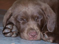omgg this is the cutest thing everr. chocolate labrador asleep