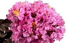Delta Eclipse Crape Myrtle is an exciting new hybrid from the Southern Living Plant Collection that holds up to that flowering standard of crape myrtle, packing a punch when it is smothered during summer with bright lavender flowers.
