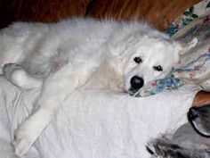 GREAT PRYNESS DOG PHOTO | buy dogs dog picture puppy club puppies puppy classifieds Dog Photos, Dog Pictures, Top Dog Breeds, Great Pyrenees, Samoyed, White Dogs, Dog Show, Mountain Dogs, Working Dogs
