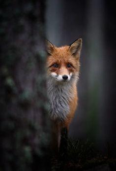 Raposa / Fox / Zorro / 狐 / Volpe / Fuchs / лиса / ثعلب / Renard / שועל Animals And Pets, Funny Animals, Cute Animals, Wild Animals, Baby Animals, Beautiful Creatures, Animals Beautiful, Fuchs Baby, Animal Pictures