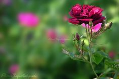 """A rose by any other name... / Crimson Rose w/Rosebuds / Floral, Bokeh / Fine Art Photography Print. Photographed in mid-summer is this beautiful rose blossom, surrounded on its stem by multiple rosebuds not yet opened. Deep crimson petals are contrasted by the lovely bokeh-effect backdrop of lush greens & pinks produced by a bed of roses along the shoreline of Lake Ontario (one of the Great Lakes). Perfect gift for Valentine's Day... """"...a rose by any other name would smell as sweet..."""" ~..."""