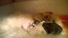 Котята девон рекс, помёт Q, 15 дней, питомник Devonland