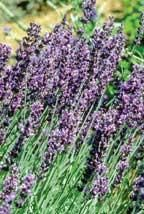 Both lavender and roses can be grown successfully from seed. Like many perennials, they do take longer to germinate than annuals. Lavender seeds do produce some