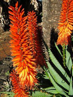 Aloe ferox (Cape Aloe) is a succulent with erect, unbranched stem topped with a rosette of fleshy, dull blue-green leaves, often with a red tinge. Growing Succulents, Cacti And Succulents, Planting Succulents, Rare Flowers, Blooming Flowers, Beautiful Flowers, Plant Painting, Desert Plants, Exotic Plants