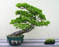Bonsai Images - U.S. National Arboretum - Page 22
