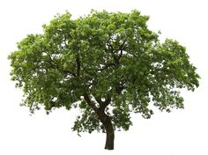 20 Free Tree PNG Images