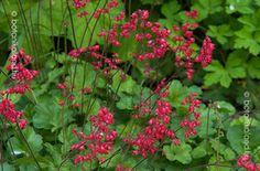Tűzgyöngyvirág Heuchera, Flowers, Plants, Gardening, Lawn And Garden, Plant, Royal Icing Flowers, Flower, Florals