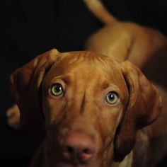 I found you Vizsla puppy playtime
