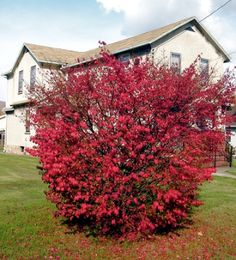Alternative Privacy Shrubs and Trees You Might be Missing Burning Bush for Privacy Planting Flowers, Front Yard Landscaping, Lawn And Garden, Bushes And Shrubs, Backyard Privacy, Outdoor Gardens, Shrubs, Shrubs For Privacy, House Landscape