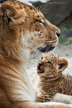 Liger mom and cub. (Lion tiger mix ) I am surprised this hybrid animal wasn't sterile. Nature Animals, Animals And Pets, Baby Animals, Cute Animals, Wild Animals, I Love Cats, Big Cats, Beautiful Cats, Animals Beautiful