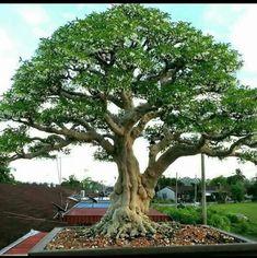 Bonsai Art, Bonsai Garden, Boxwood Bonsai, Murraya Paniculata, Maple Bonsai, Plantas Bonsai, Bonsai Styles, Tree Trunks, Ficus