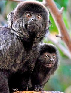 Goeldi's monkey by stefan_fotos